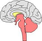 Σχηματική απεικόνιση του κεντρικού νευρικού συστήματος.